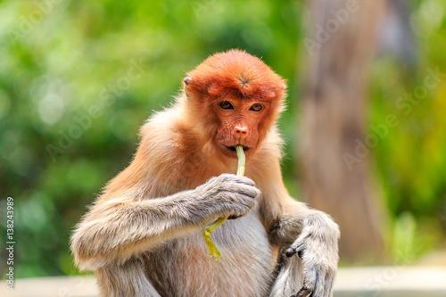Foto op Plexiglas Indonesië Female Proboscis Monkey feeding