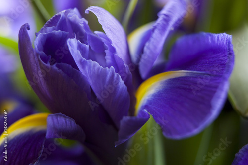 Foto op Canvas Iris Studio Shot of Blue Colored Iris Flowers.