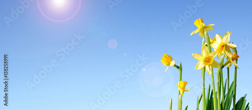 In de dag Narcis daffodils and blue sky banner with copy space