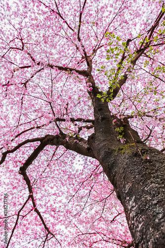 Deurstickers Kersen Sakura tree , Japanese cherry blossom symbol of spring