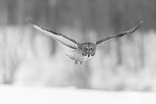 The Great Grey Owl In The Gold...