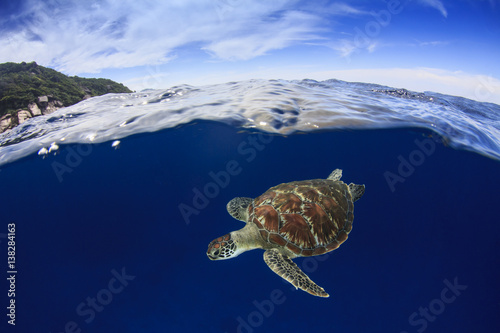 Fotografía  Sea Turtle. Green Turtle comes up to surface to breathe