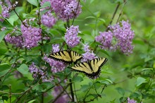 Spring Lilacs And Butterflies