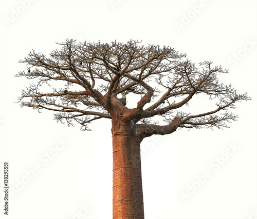 Recess Fitting Baobab Isolated Boaobab tree from Madagascar finance business concept