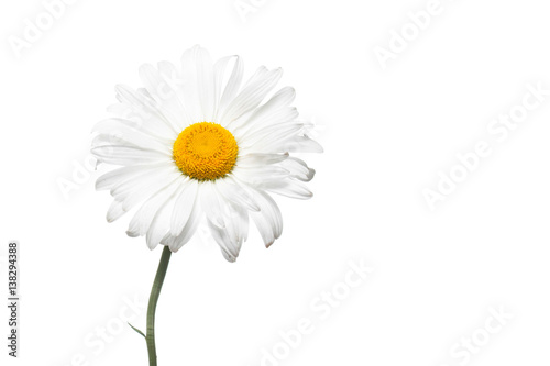 Beautiful white daisy flower. Floral wallpaper, image for greeting card