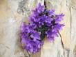 Ein Büschel Dolomiten-Glockenblume (Campanula morettiana) wächst aus Spalt in  Dolomitgestein, Boe-Seekofel, Sella-Gruppe, Dolomiten, Südtirol, Italien