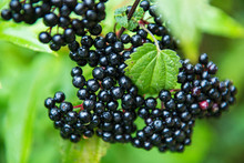 Elderberry. Closeup View Of Elderberry's Bunch. Autumn Forest Berry.