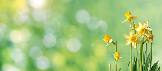 green bokeh daffodil banner with copy space