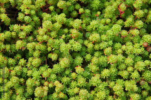 Valokuvatapetti Many sedum acre green plant close up
