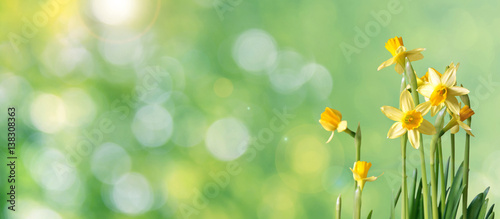 Deurstickers Narcis green bokeh daffodil banner with copy space