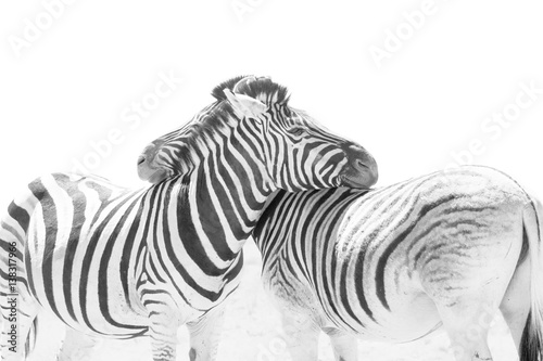 Aluminium Prints Zebra Two hugging zebras in love. Etosha national park, Namibia