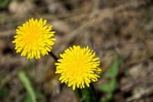 Två Maskrosor Blommar Vid En Skogsstig