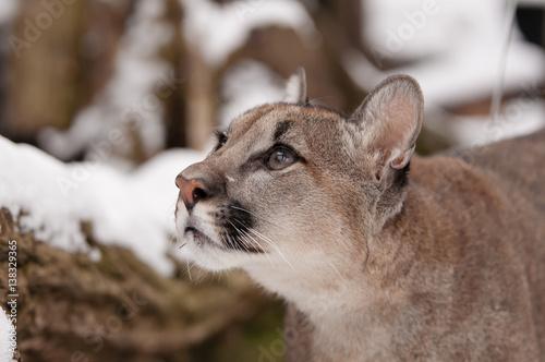 Poster Puma Neugieriger Junger Puma