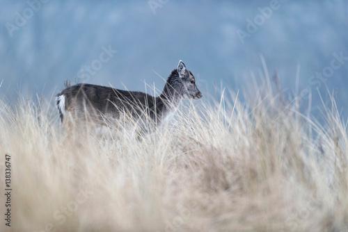 daniel-zwyczajny-mlody-jelen-w-wysokiej-zoltej-trawie