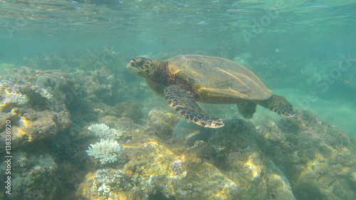 Foto op Canvas Schildpad wild turtle on the reef