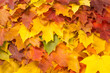 Texture, pattern, background. Maple leaves in autumn a tree or shrub with lobed leaves, winged fruits, and colorful autumn foliage.