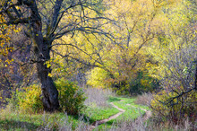 Autumn In The Deciduous Forest In The Foreground Without Elm Leaf In The Background A Large Maple Tree. Between Them, The Dirt Road