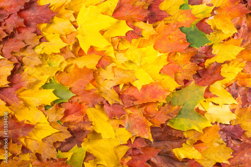 Fototapeta Texture, pattern, background. Maple leaves in autumn a tree or shrub with lobed leaves, winged fruits, and colorful autumn foliage.