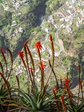 Flowerage Of Madeira, Flowers Of Tree Aloe, Aloe Arborescens, Po