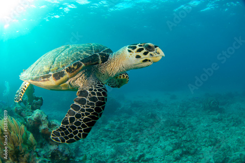 Foto op Canvas Schildpad HawksBill Turtle In Florida Keys