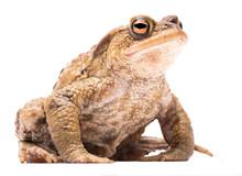 Common Toad, Bufo Bufo. A Beau...