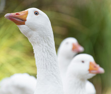 Portrait Of White Goose Outdoors.