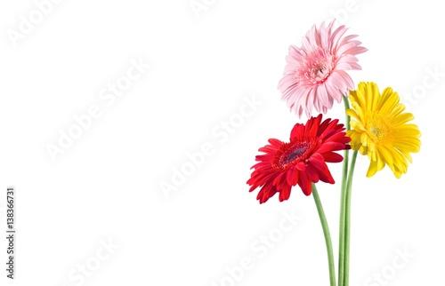 Cuadros en Lienzo Gerbera daisy.