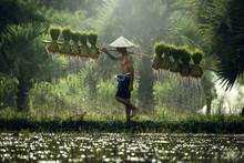 Farmers Grow Rice In The Rainy...