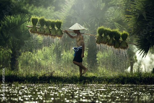 Photo  Farmers grow rice in the rainy season
