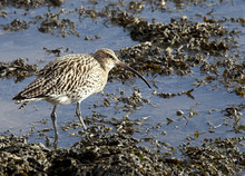 Eurasian Curlew Standing At Th...