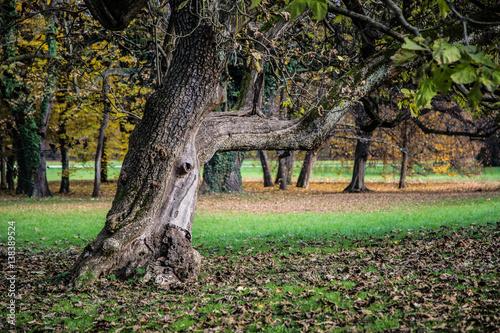 Fotografie, Obraz  uralter, knorriger Parkbaum im Herbst
