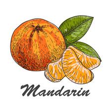 Hand Made Vector Sketch Of Mandarins In Vintage Style.