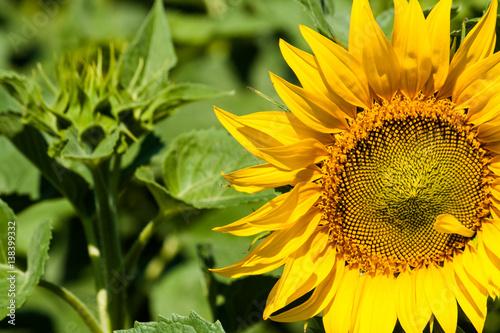 In de dag Zonnebloem Sunflower grows on the field