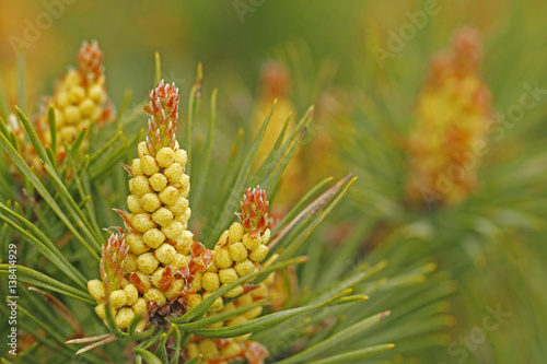 Pine, Pinus silvestris, male inflorescence in forest in Finland.