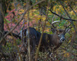 Male Deer in Color