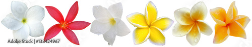 Poster Plumeria fleurs de frangipanier, fond blanc