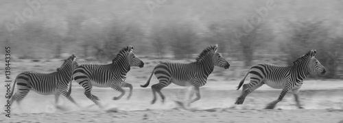 In de dag Zebra Running zebra
