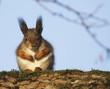 Red squirrel sittinng on a branch in park in Turku in FInland.