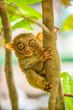 Tarsier monkey in natural environment