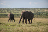 Elephant in Maasai Mara, Kenya
