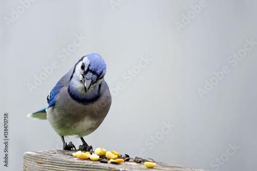 blekitny-ptaszek-jedzacy-ziarenka