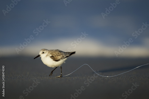 Fotografie, Obraz  An unfortunate Sanderling has fishing line tangled around its foot as it runs on a dark sandy beach in the late evening sunlight