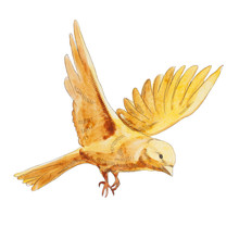 Watercolor Yellow Canary Flying And  Isolated On White Background. Yellow Natural Bird