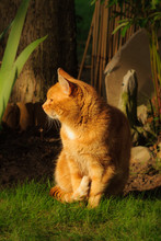 Nice Portrait Of A Ginger Or Orange Marmalade Tabby Cat Enjoying The Evening Summer Sunshine In His Garden