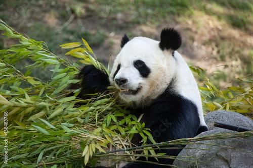 Fotografija  Giant panda (Ailuropoda melanoleuca).