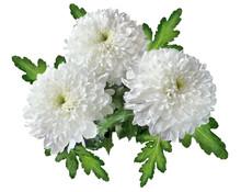 Bouquet Of White Chrysanthemum Flowers