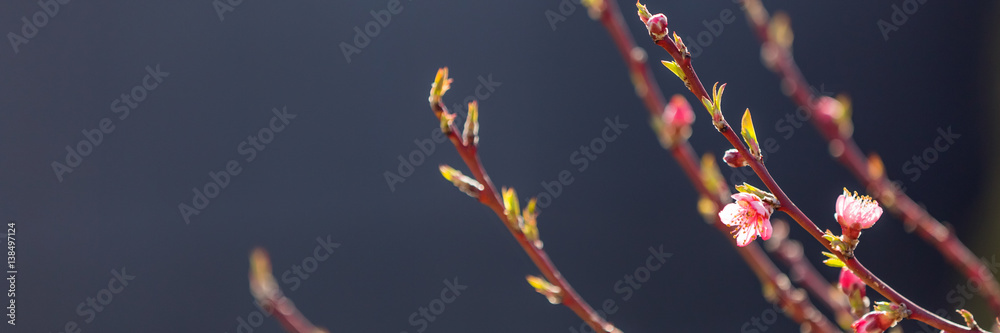 Fototapety, obrazy: Flowering fruit tree branches with pink flowers in sunlight against dark background