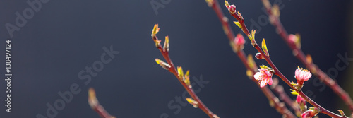 Foto op Aluminium Lente Flowering fruit tree branches with pink flowers in sunlight against dark background