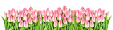 Fototapeta Tulipany - Fresh spring tulip flowers banner Floral border Bouquet