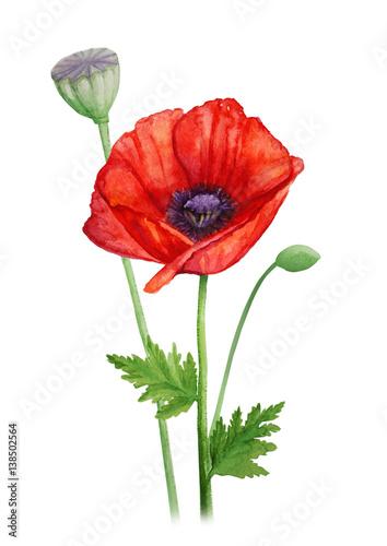 Poster Poppy Red poppy flower on a stalk - watercolor illustration